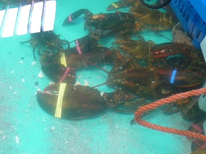 kleiner-Lobster