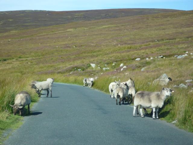 Schafe in den Wicklow Mountains