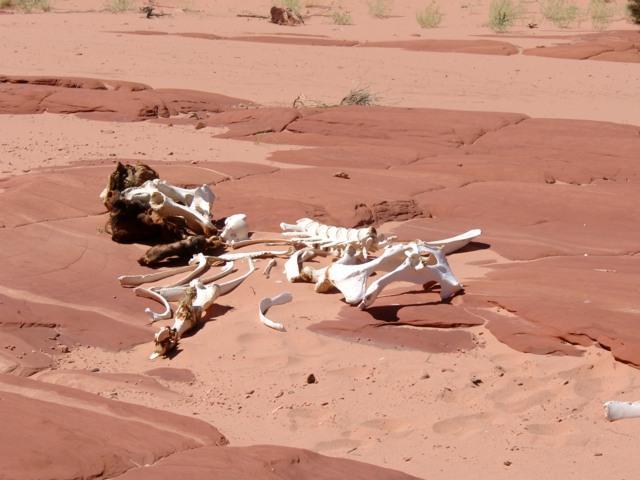 Tierleiche in der Wüste