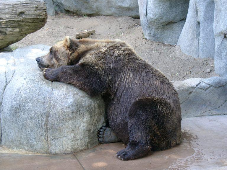 San Diego Zoo Braunbaer
