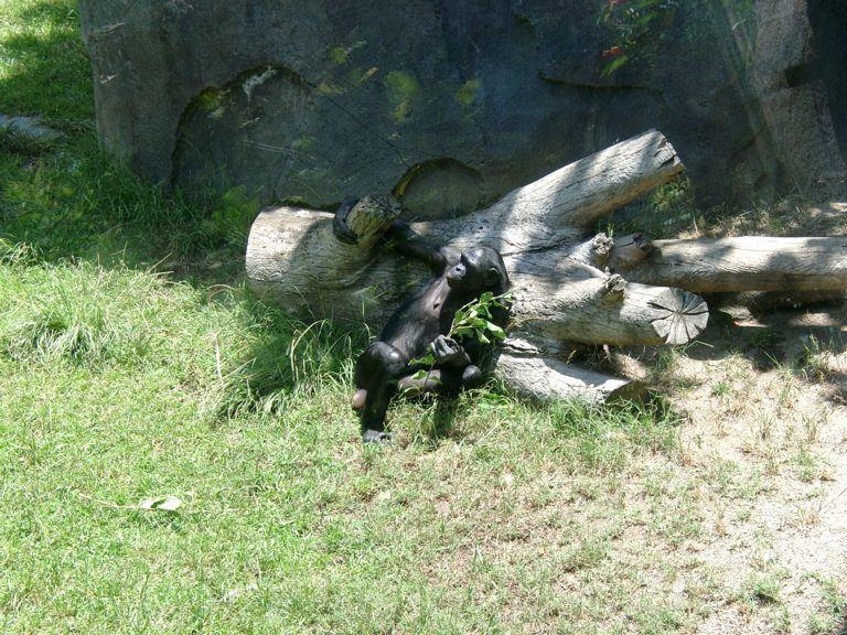 San Diego Zoo Affe