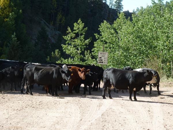 Kuh-Herde-PCD