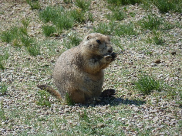 Prairie-Dog-Devils_Tower