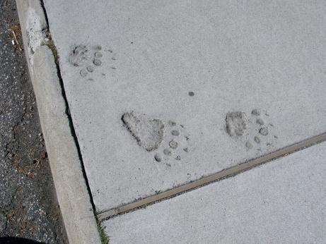 Bigfoot_Spuren