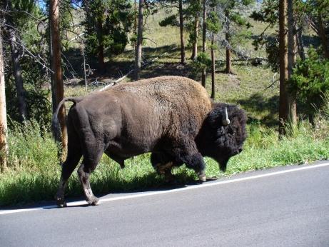 Bison auf der Strasse im Yellowstone NP