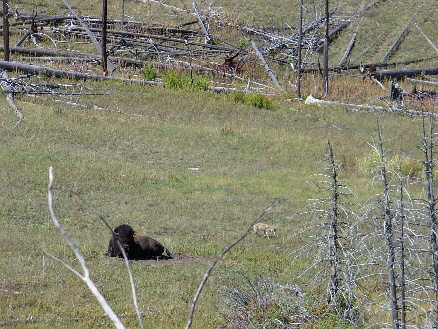 Bison und Coyote