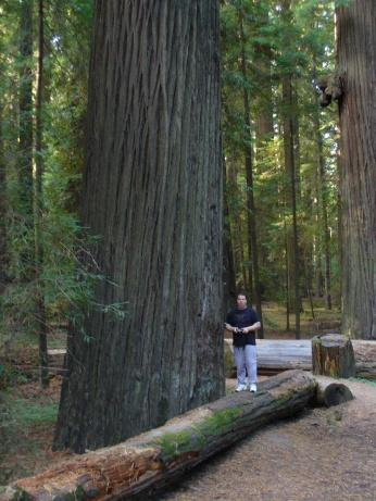 Redwood im Avenue of the Giants