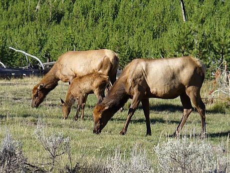 Yellowstone NP Tiere