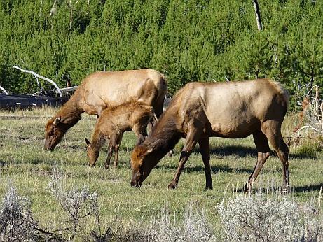 Yellowstone NP Tiere