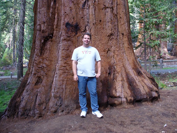 Giant Redwood im Mariposa Grove