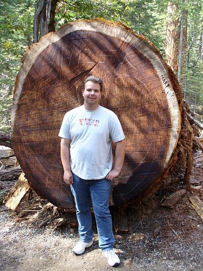 Giant Redwood im Mariposa Grove