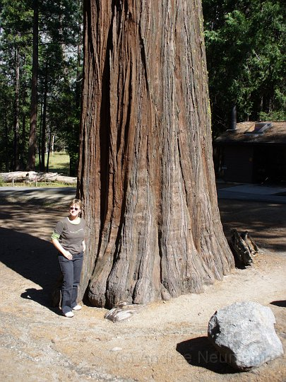 Redwood im Mariposa Grove