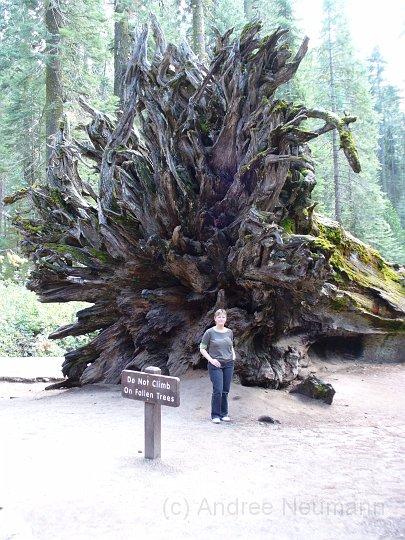 Wurzel eines Redwoods